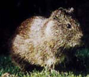 テンジクネズミの画像 p1_3